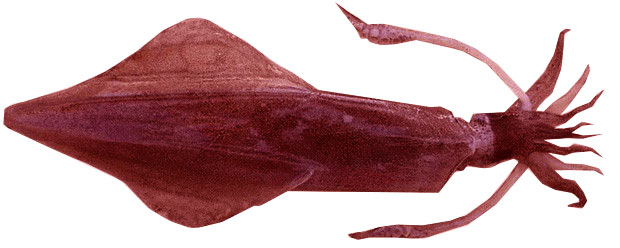 Loligo Reynaudi (South African Squid)